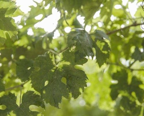 Ferzo Wines Cantine Citra Paesaggi D'Abruzzo giornata fotografica in vigna